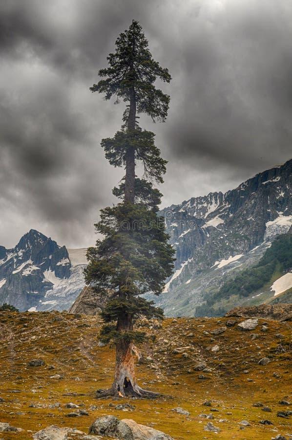 pojedynczego cedrus deodar drzewo w górach pod ciemnymi chmurami obraz stock