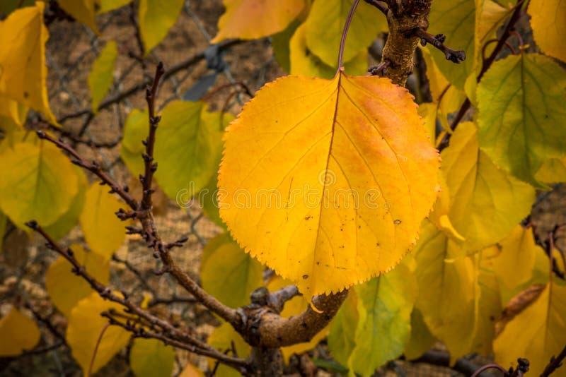 Pojedynczej żółtej pomarańczowej jesieni morelowy liść przeciw tłu liście i gałązki, zdrowa żywność organiczna r podtrzymywalny w obraz stock