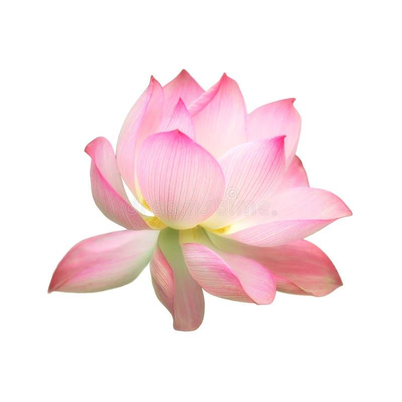 Pojedynczej menchii wody lotosowy kwiat odizolowywający na białym tle zdjęcia royalty free