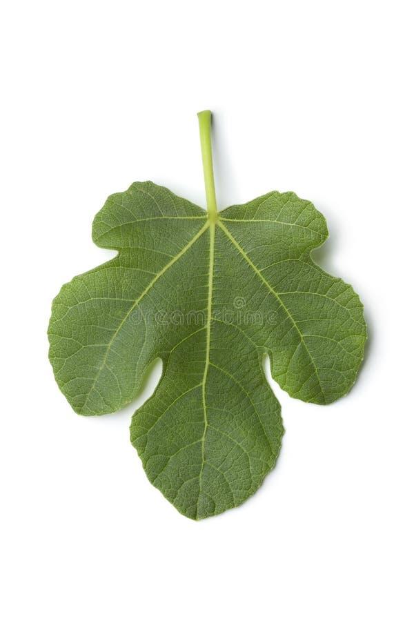 pojedynczy świeży figa liść zdjęcie royalty free