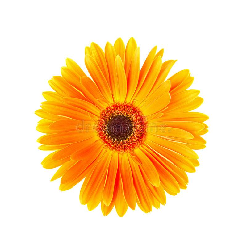 Pojedynczy żółty gerbera kwiat odizolowywający na białym tle obrazy stock