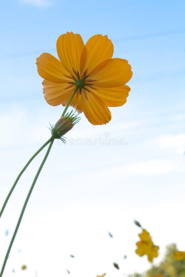 Pojedynczy żółty kosmosu kwiat na jasnym niebieskim niebie fotografia royalty free
