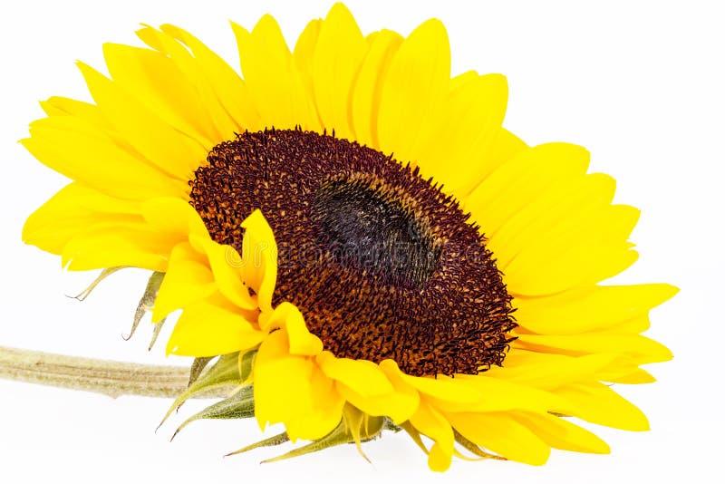 Pojedynczy żółty kwiat odizolowywający na białym tle słonecznik zdjęcie stock