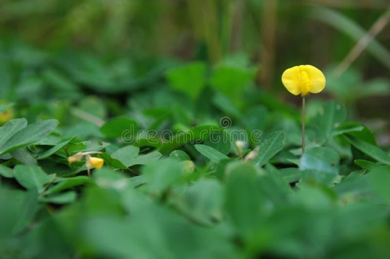 Pojedynczy żółty mały kwiat obrazy stock