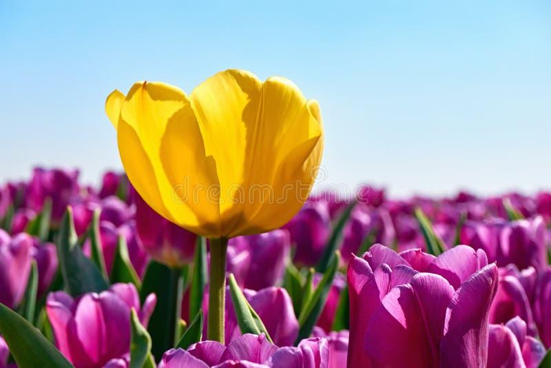 Pojedynczy żółty tulipan w polu z purpurowymi tulipanami fotografia stock