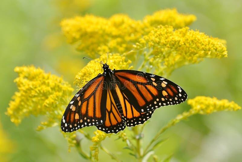 Pojedynczy żeński monarchiczny motyl na obfitym goldenrod obrazy stock