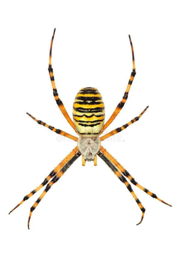 pojedynczy argiope pająk fotografia stock