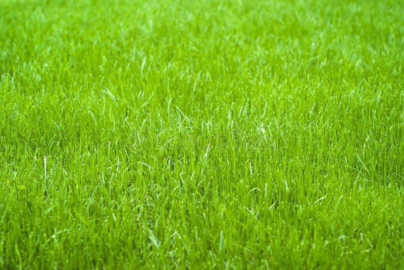 pojedynczy białe tło trawy obrazy royalty free