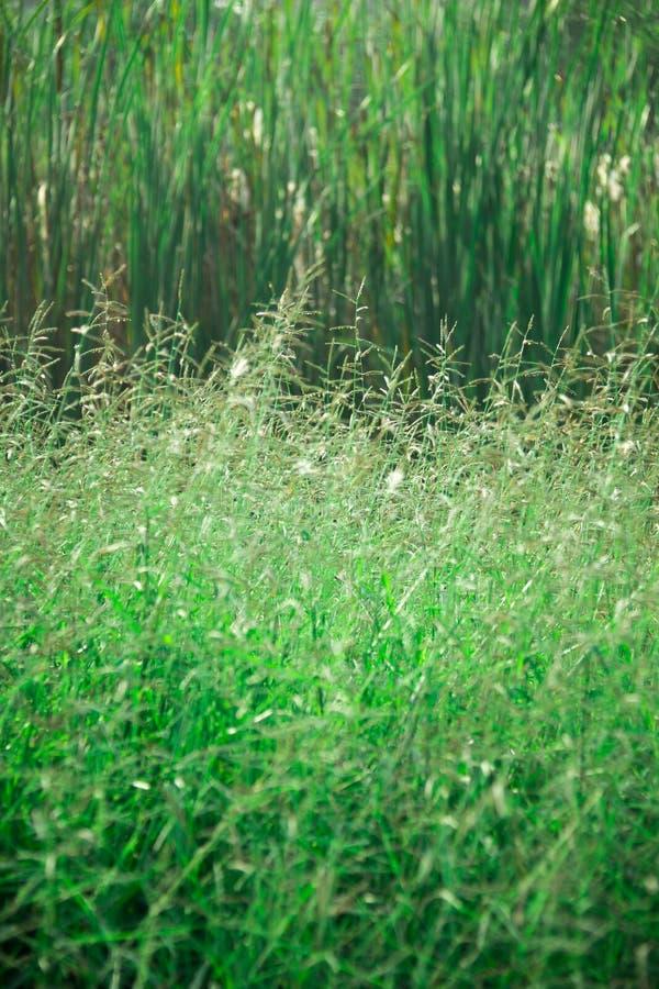 pojedynczy białe tło trawy fotografia royalty free