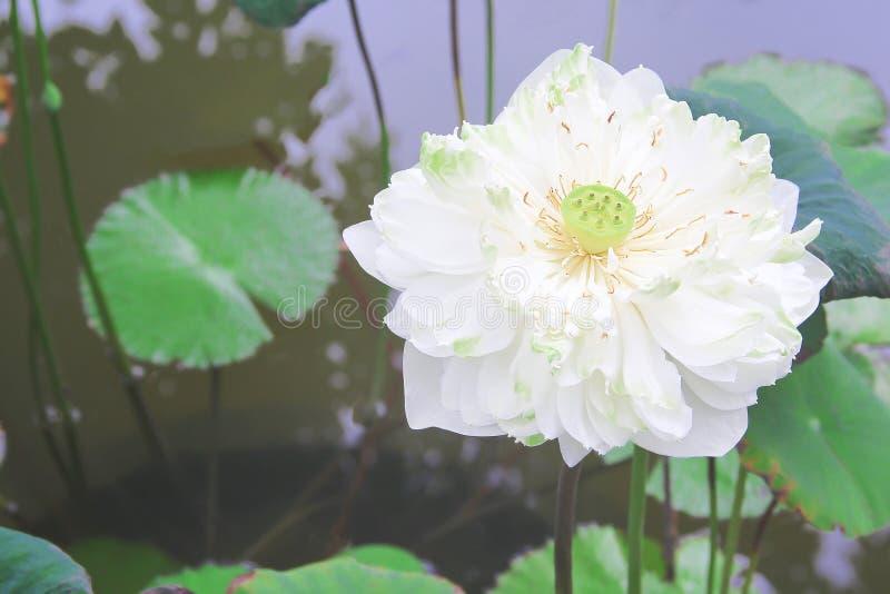 Pojedynczy białej lelui lotosowi kwiaty kwitnie z zielonym trzonem i liśćmi w stawowym tle zdjęcie royalty free