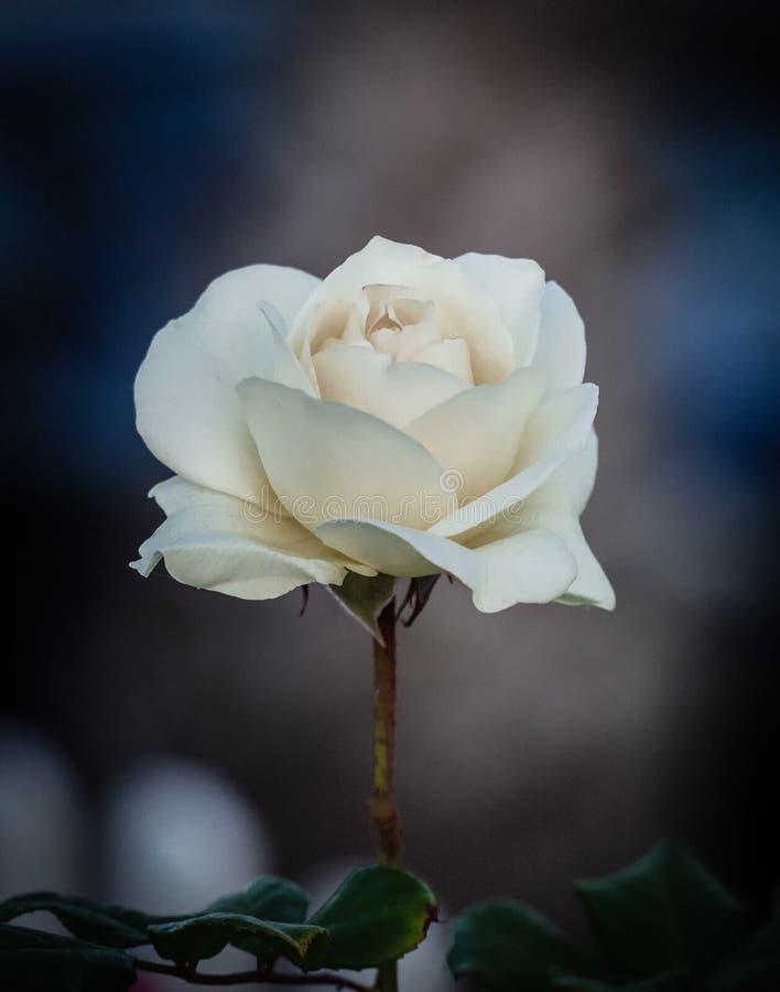 Pojedynczy biel róży okwitnięcie w pełnym kwiacie z zamazanym tłem obrazy stock