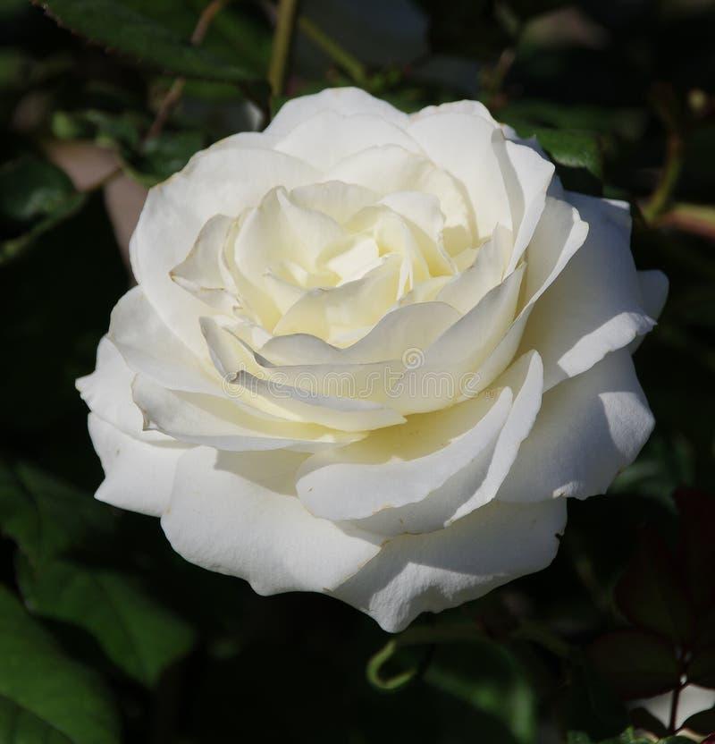 Pojedynczy biel róży okwitnięcie w pełnym kwiacie z zielonym ulistnieniem obrazy stock