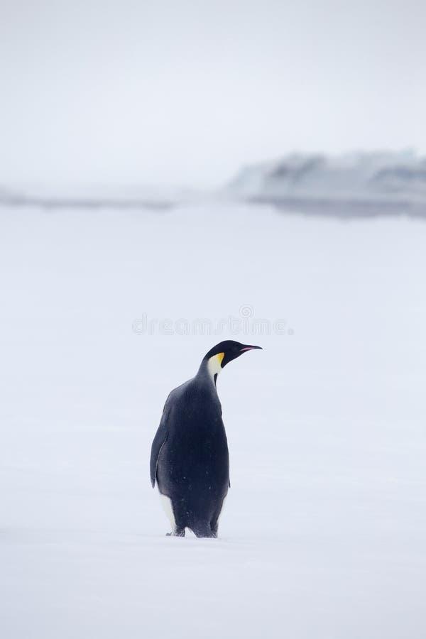 Pojedynczy cesarza pingwin w Weddell morzu zdjęcia stock