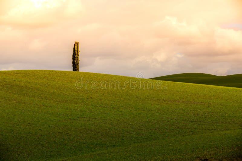 Pojedynczy cyprys przy Tuscany wzgórzami zdjęcia royalty free