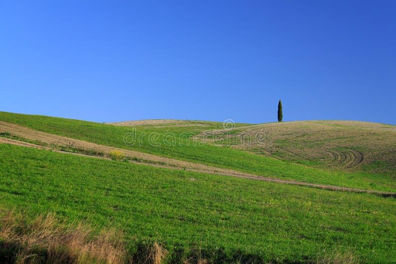 Pojedynczy Cyprysowy drzewo fotografia royalty free