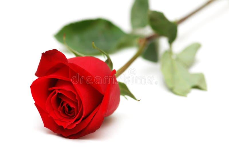 pojedynczy czerwoną różę white zdjęcia royalty free