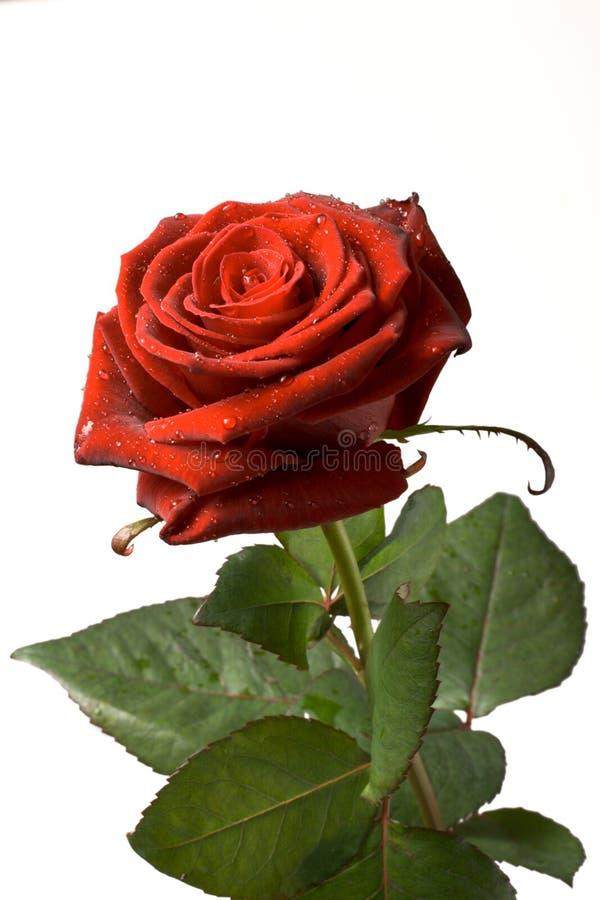 pojedynczy czerwoną różę white zdjęcie royalty free