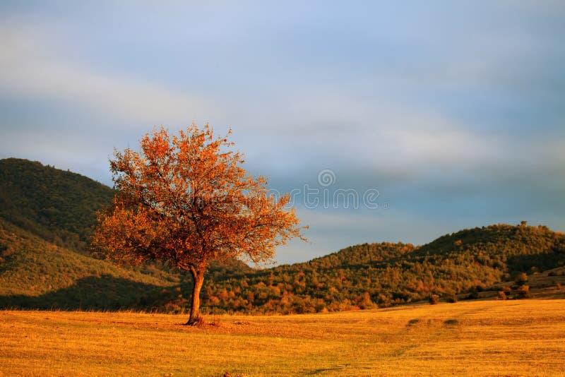 Pojedynczy czerwony drzewo fotografia royalty free