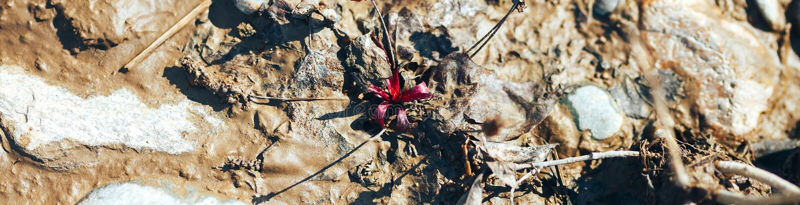 Pojedynczy czerwony makowy kwiatu dorośnięcie wśród brudnych kamieni na rzece zdjęcie royalty free