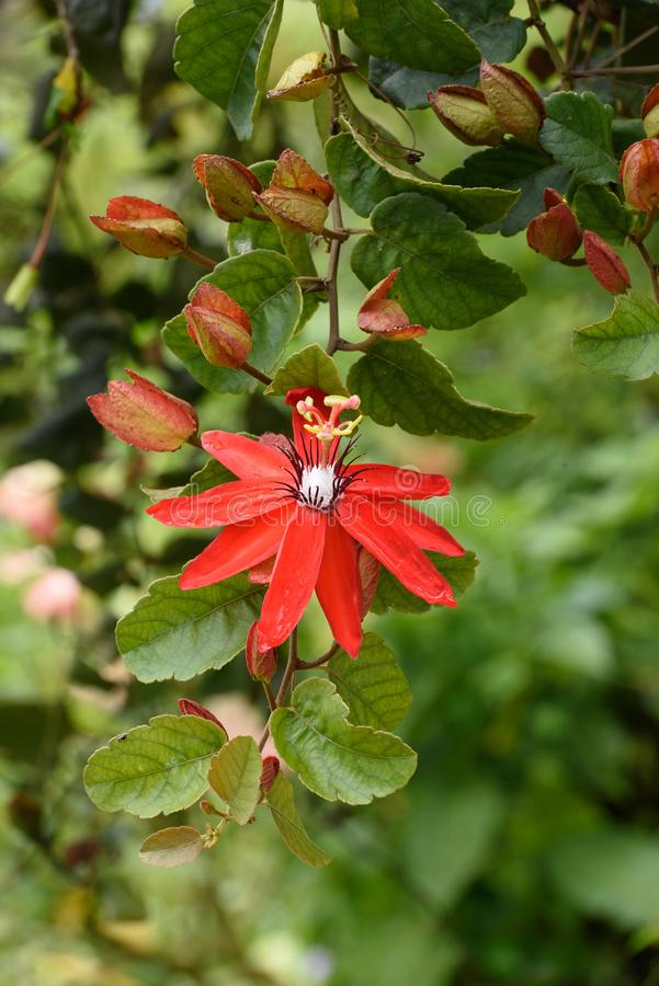 Pojedynczy czerwony pasyjny kwiat zdjęcia royalty free