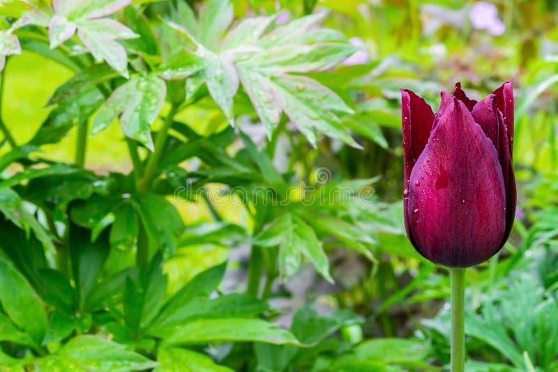Pojedynczy czerwony tulipa kwiat na w górę zieleń liści tła z placeholder obraz stock