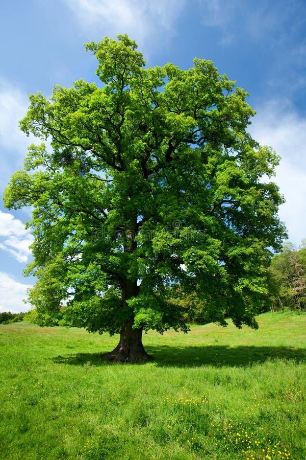 pojedynczy dębu drzewo fotografia stock