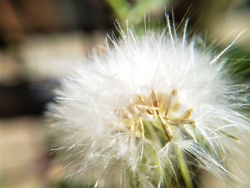 Pojedynczy Dandelion w górę zamkniętej makro- fotografii fotografia royalty free