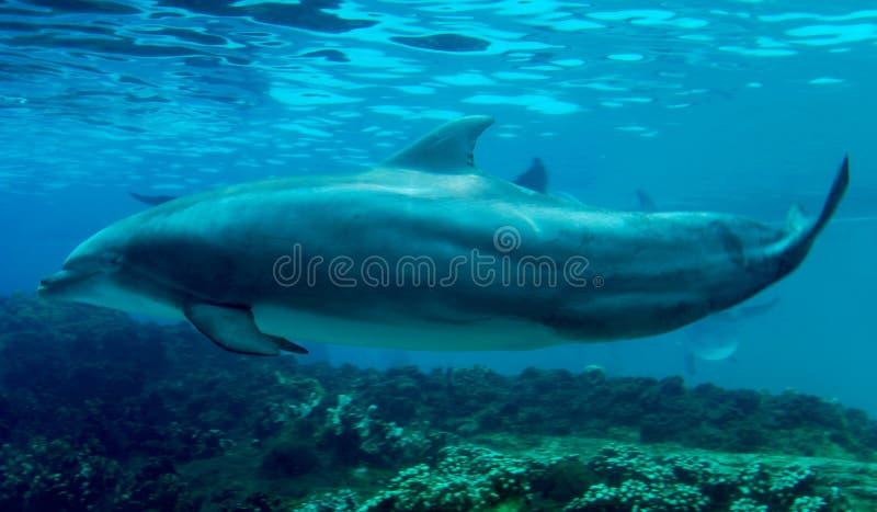 pojedynczy delfinów opływa fotografia stock