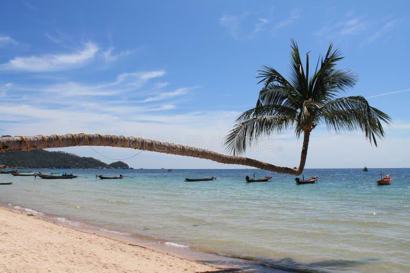 Pojedynczy drzewko palmowe na Koh Tao wyspie zdjęcia stock