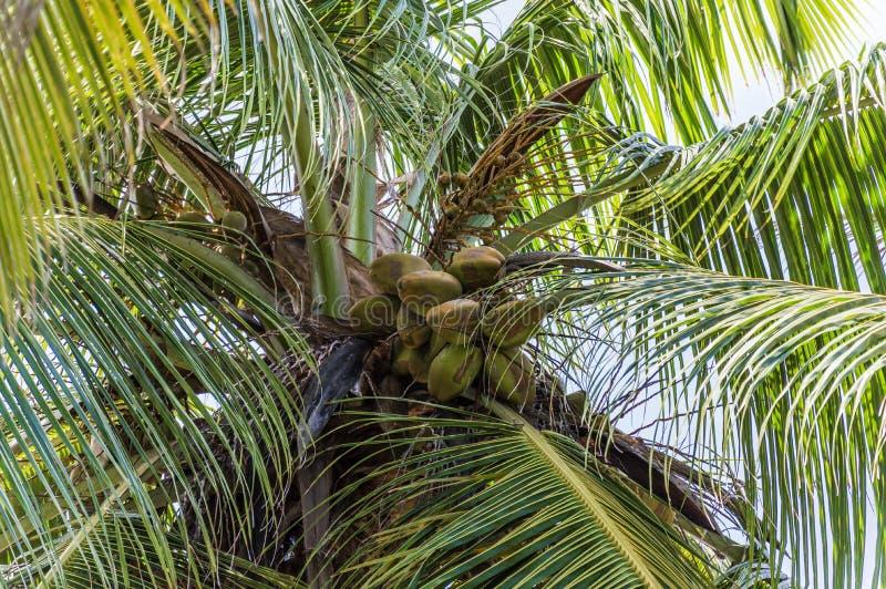 Pojedynczy drzewko palmowe w Seychelles zdjęcie royalty free