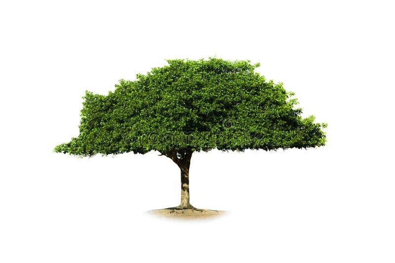 Download Pojedynczy drzewo obraz stock. Obraz złożonej z migdał - 57663687