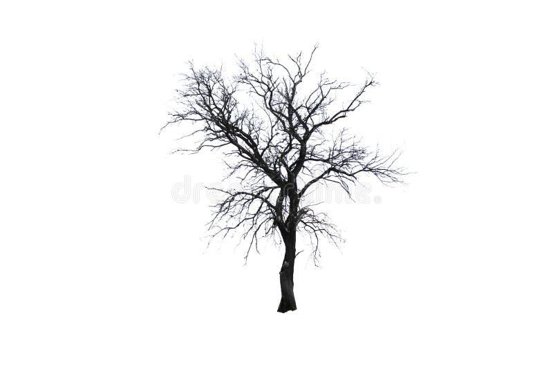 pojedynczy drzewo Jeden zimy drzewo odizolowywający na białym tle fotografia royalty free