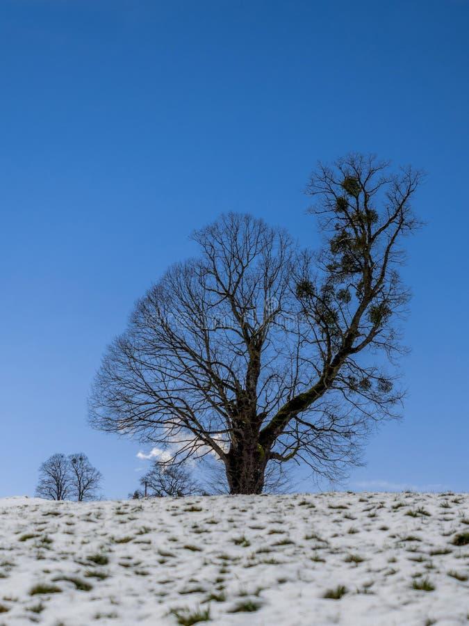 Pojedynczy drzewo w śnieżnym zima krajobrazie zdjęcia royalty free
