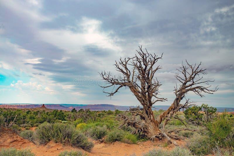 Pojedynczy drzewo w pustynnym krajobrazie fotografia stock