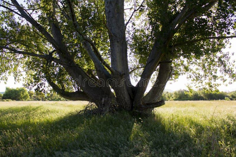 Pojedynczy drzewo w trawy polu obraz stock