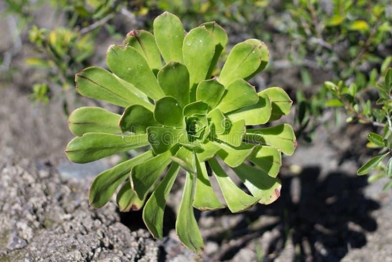Pojedynczy floret zielony Aeonium arboreum obraz stock