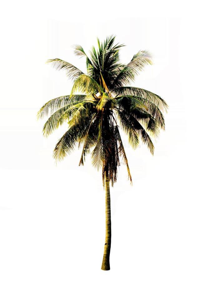 Pojedynczy kokosowy drzewo odizolowywający na białym tle obraz stock