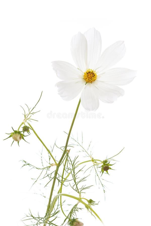 Pojedynczy kosmosu bipinnatus kwiat zdjęcia royalty free