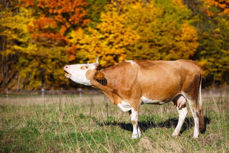 Pojedynczy krów muczenia w polu krowy TARGET2639_0_ pole pasa zielonego głównych atrakcj klonowego pomarańczowego paśnika pojedyn obraz stock