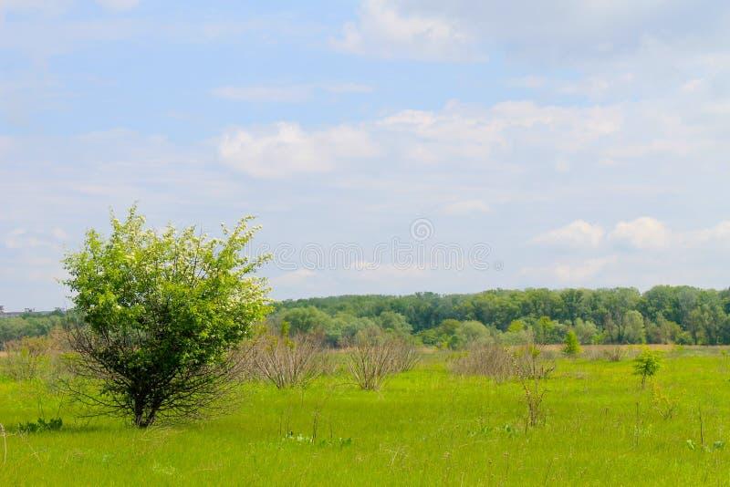 Pojedynczy kwitnie drzewo na wiosny łące fotografia stock