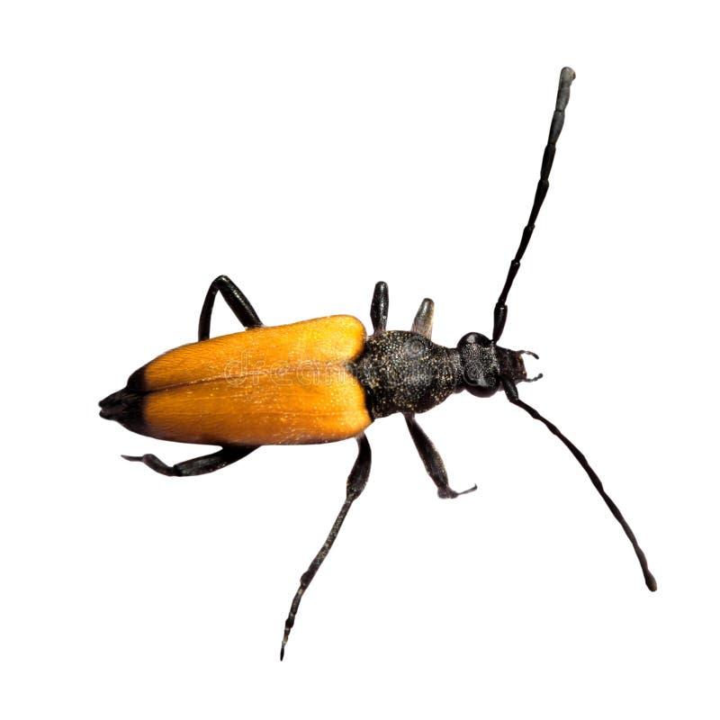 pojedynczy leptura chrząszcze fotografia royalty free
