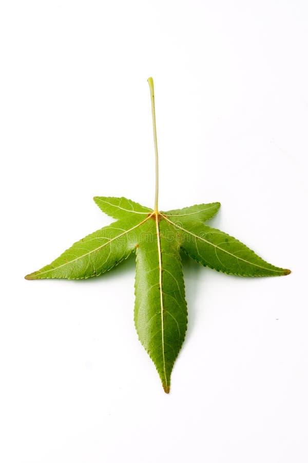 pojedynczy liści z powrotem obrazy royalty free