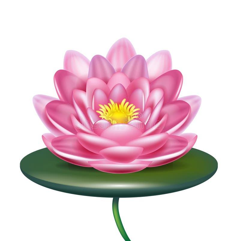 Pojedynczy lotosowy kwiat odizolowywający na bielu royalty ilustracja