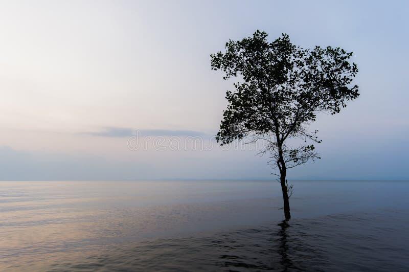 Pojedynczy mangrowe obraz stock