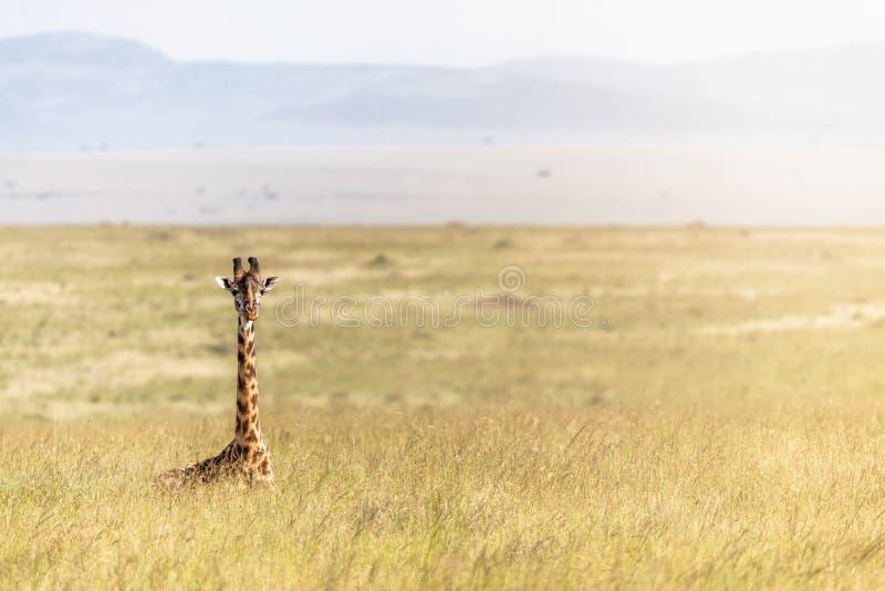 Pojedynczy Masai żyrafy lying on the beach w Afryka obszarach trawiastych zdjęcia royalty free