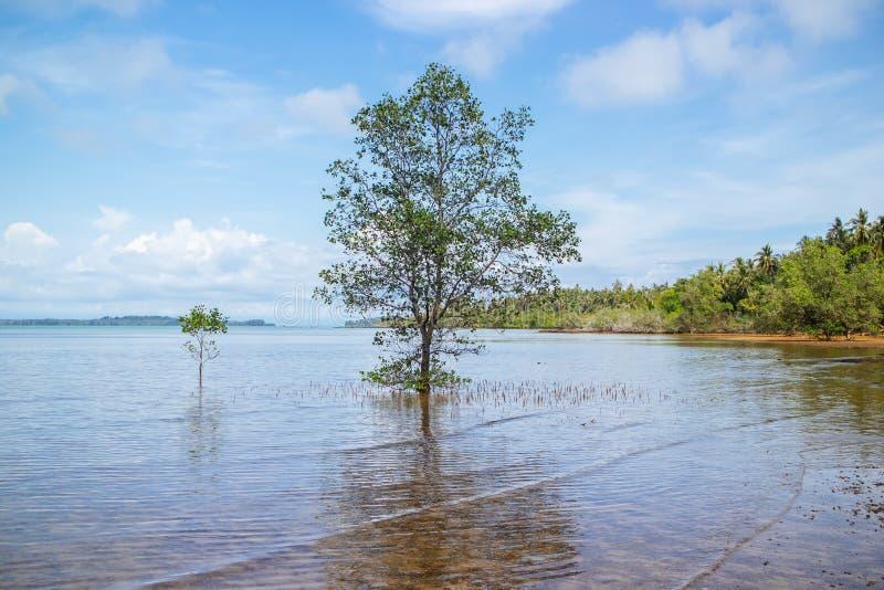 Pojedynczy Namorzynowy drzewny dorośnięcie w słonej wodzie blisko plaży w popołudniu przy Koh Mak wyspą w Trata, Tajlandia obraz royalty free