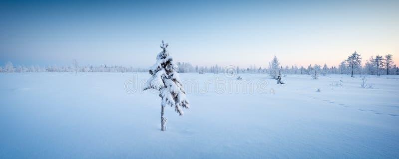 Pojedynczy nowy rok jedlinowego drzewa w śnieżnym zima lesie w błękicie tonują panoramę obrazy royalty free