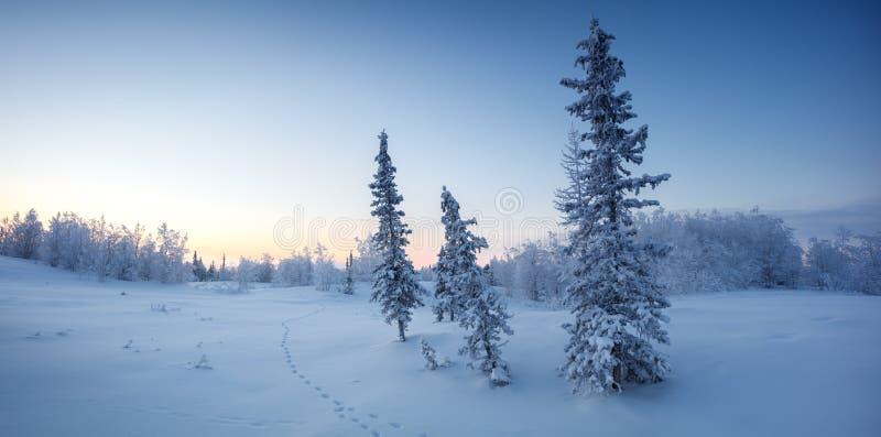 Pojedynczy nowy rok jedlinowego drzewa w śnieżnym zima lesie w błękicie tonują panoramę obrazy stock