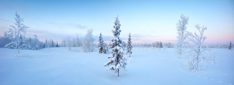 Pojedynczy nowy rok jedlinowego drzewa w śnieżnym zima lesie w błękicie tonują panoramę zdjęcie stock