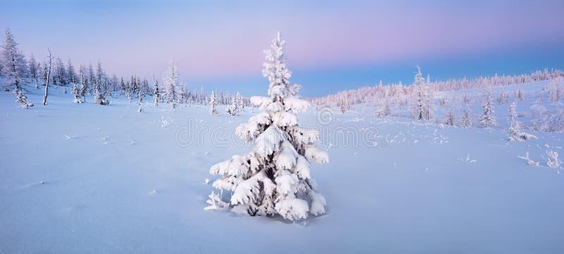Pojedynczy nowy rok jedlinowego drzewa w śnieżnym zima lesie w błękicie tonują panoramę fotografia royalty free